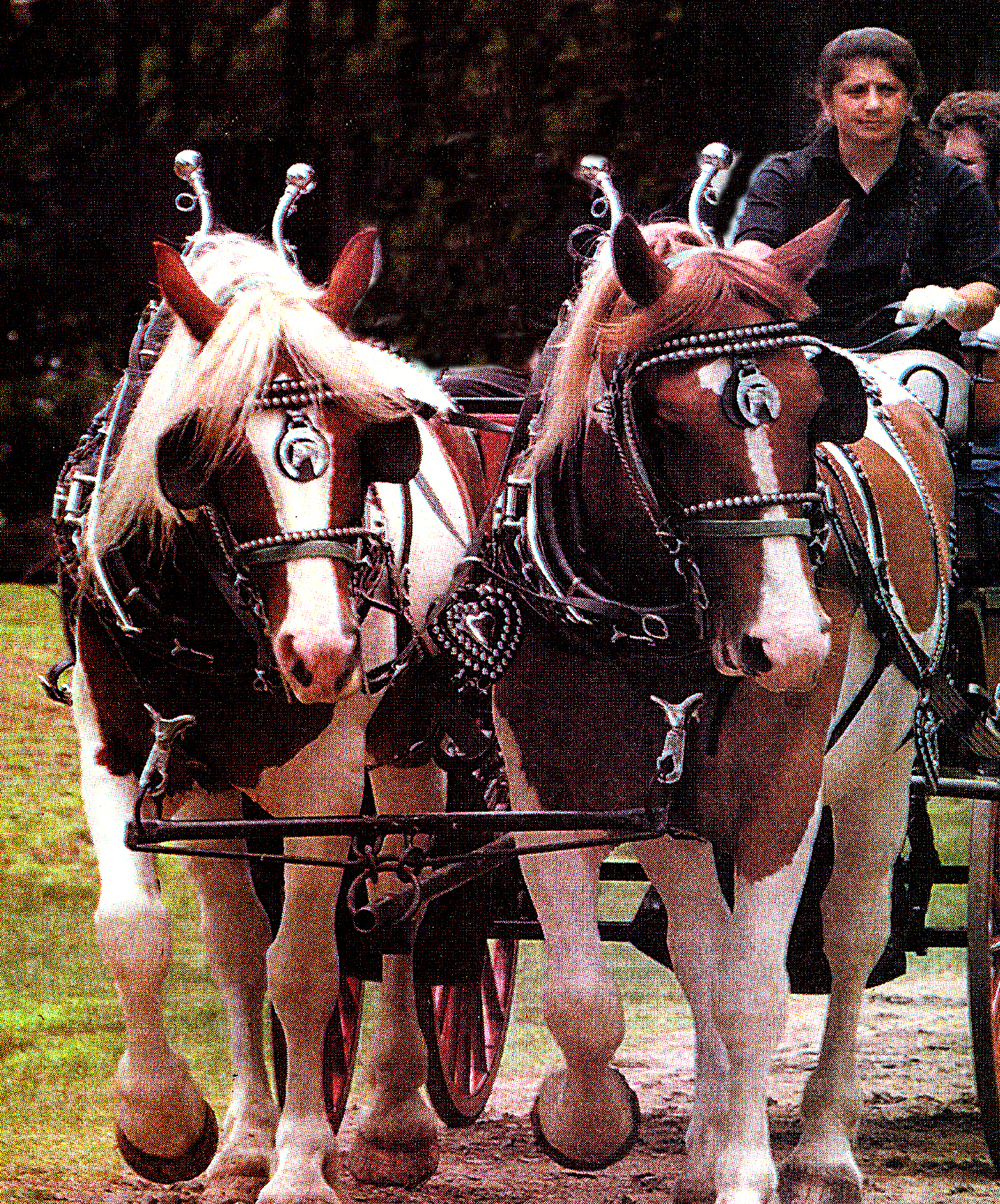 michelle vara driving North American Spotted Draft Horses- Pete & Paul